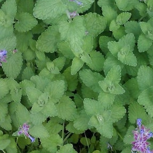 Catnip Leaves 10g BIO