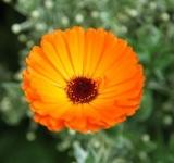 Marigold blossoms (Calendulae flos) 10g BIO