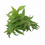 Verbena (Verbena officinalis L.) BIO
