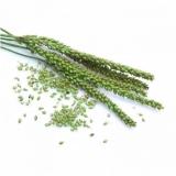 Ribwort (Plantago lanceolata L.) BIO