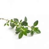 Thyme (Thymus vulgaris L.) BIO